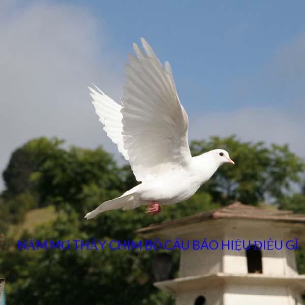 Giải mã giấc mơ thấy chim bồ câu