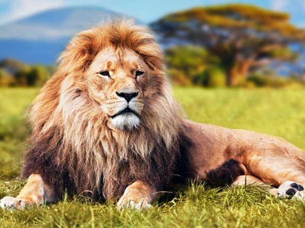 Mơ thấy sư tử có ý nghĩa gì, đánh con số nào vào bờ?