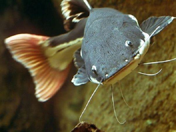 Mơ thấy cá lóc là điềm dữ hay lành, cá lóc là số mấy?
