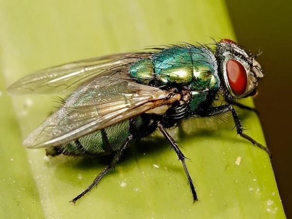 Mơ thấy ruồi đánh con gì? Ý nghĩa giấc mơ thấy ruồi