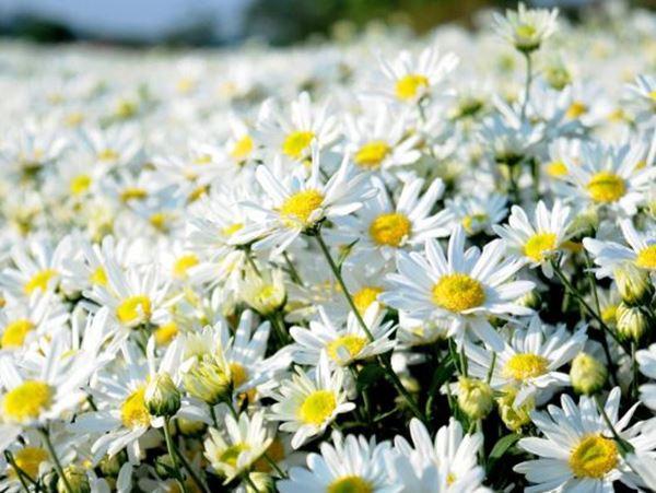 Mơ thấy hoa cúc đánh con gì đổi đời, phát tài phát lộc?