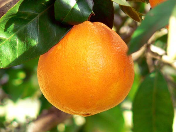 Mơ thấy quả cam – Ý nghĩa và con số lô đề của giấc mơ thấy quả cam