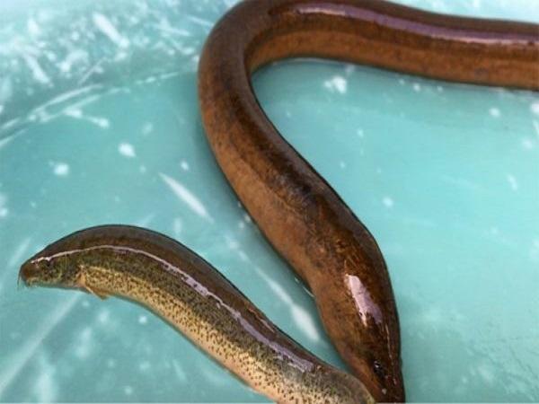 Nằm mơ thấy con lươn có điềm báo tốt hay xấu