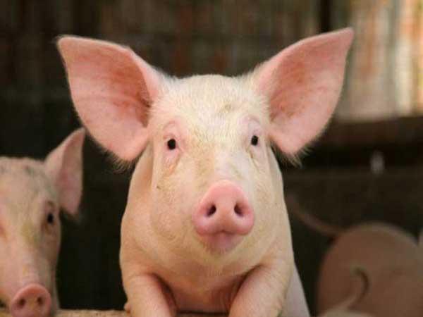 Ngủ mơ thấy lợn có ý nghĩa điềm báo gì