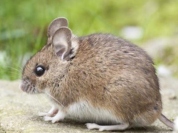Mơ thấy chuột chù điềm báo đen hay đỏ, ghi con đề bao nhiêu?