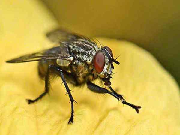 Mơ thấy ruồi là giấc mơ tốt hay xấu ? Đánh số mấy chắc trúng ?