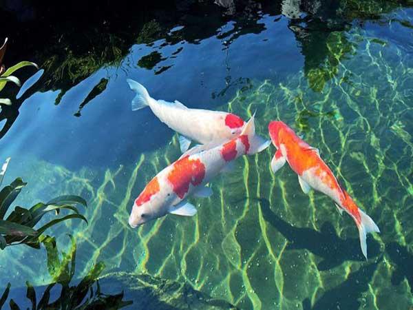 Điềm báo của giấc mơ thấy cá koi