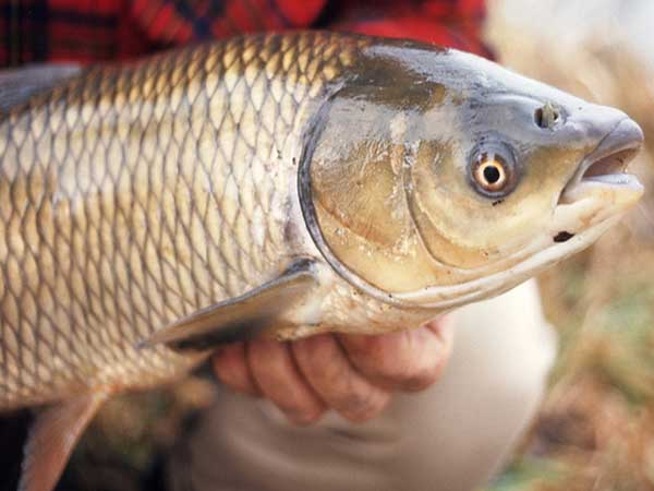 Ngủ mơ thấy cá trắm có ý nghĩa điềm báo gì