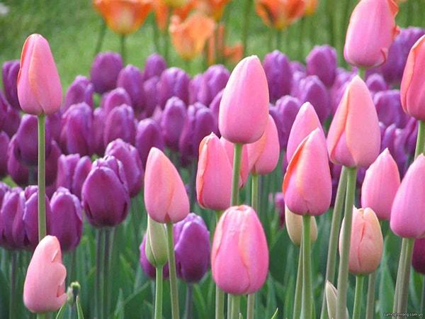 Mơ thấy hoa tulip màu hồng