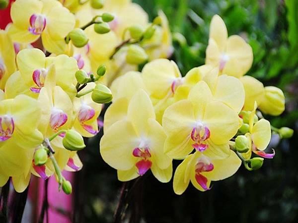 Nằm mơ thấy hoa phong lan là điềm gì đánh con số nào