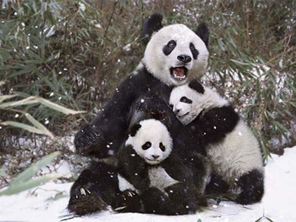 Nằm mơ thấy gấu đánh con gì ăn chắc, có điềm báo gì