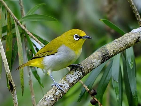 Ý nghĩa điềm báo giấc mơ thấy chim vành khuyên là Tốt hay Xấu