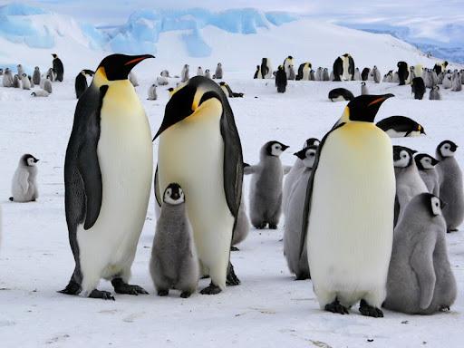 Mơ chim cánh cụt màu sắc vàng